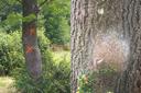 La chenille processionnaire du chêne à nos portes